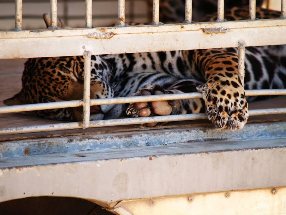 Guadalajara - Mexico - prohíbe los circos con animales 1002283_10152011575093345_1174930170_n