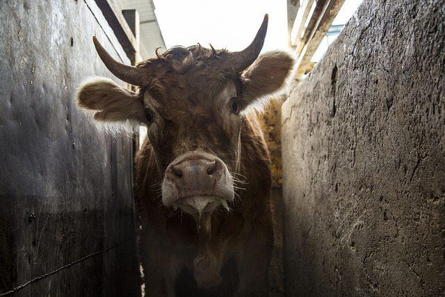Vaca en el pasillo de un matadero
