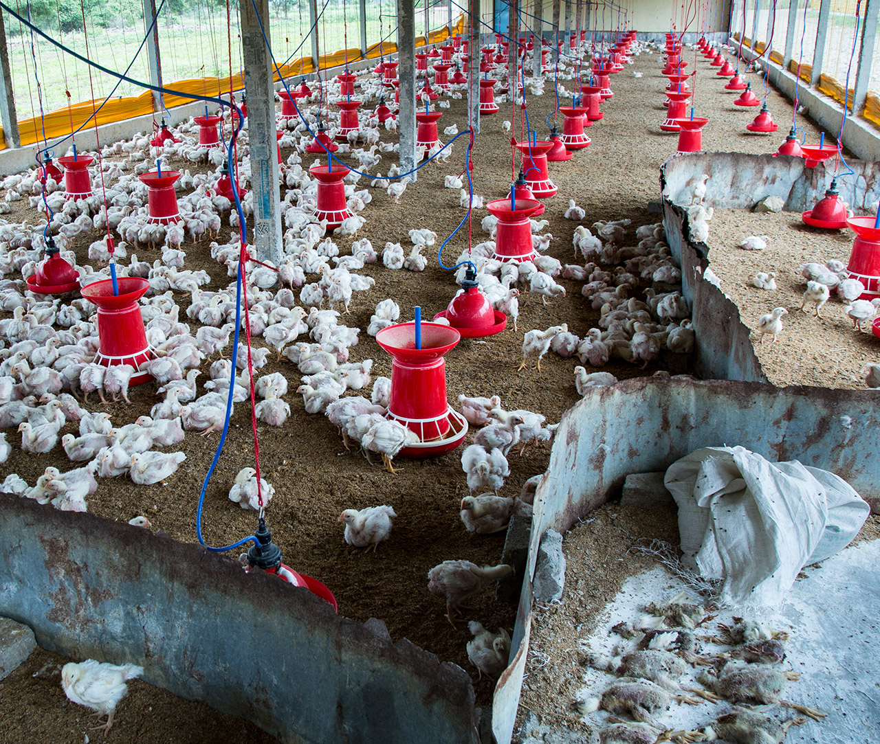 half_chicken_farm_india