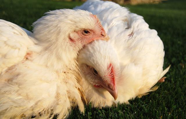 Únicos, sensibles e inteligentes: así son los pollos