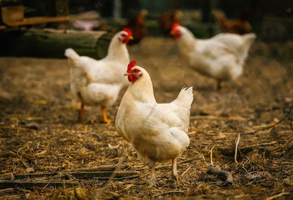 5 cosas sorprendentes que no imaginabas de los pollos