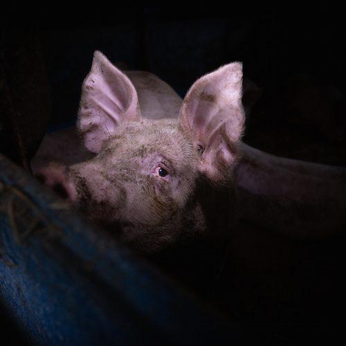 Cerdo en granja industrial
