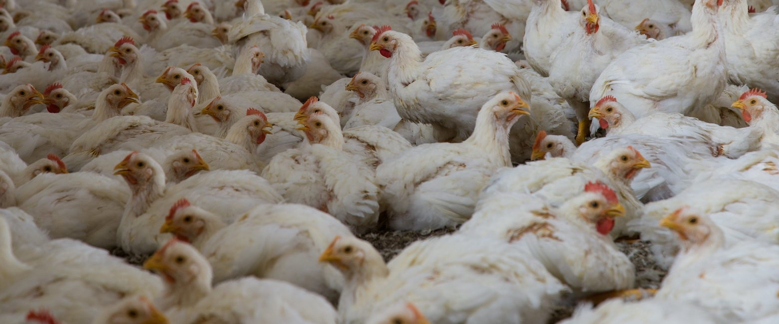 Pollos en granja industrial
