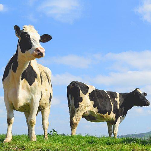 Vacas en libertad