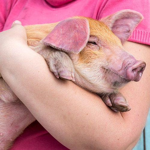 cerdo protegido