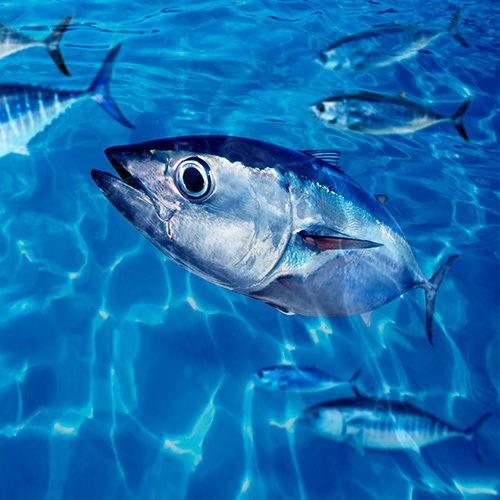 Los peces sienten