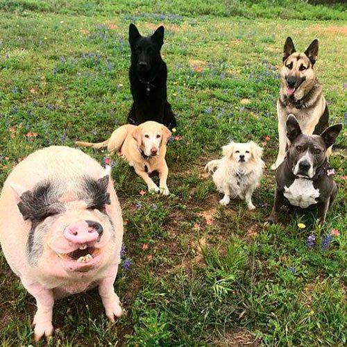 Cerdo se hace viral