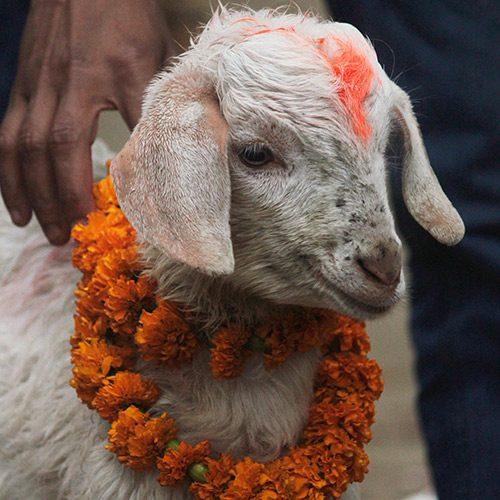 Matanza animal en Gadhimai 2020