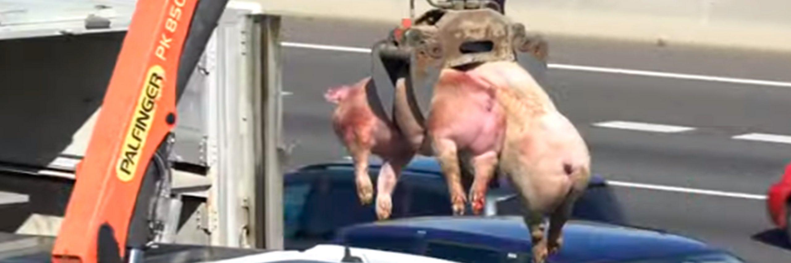 Cerdos en camión volcado