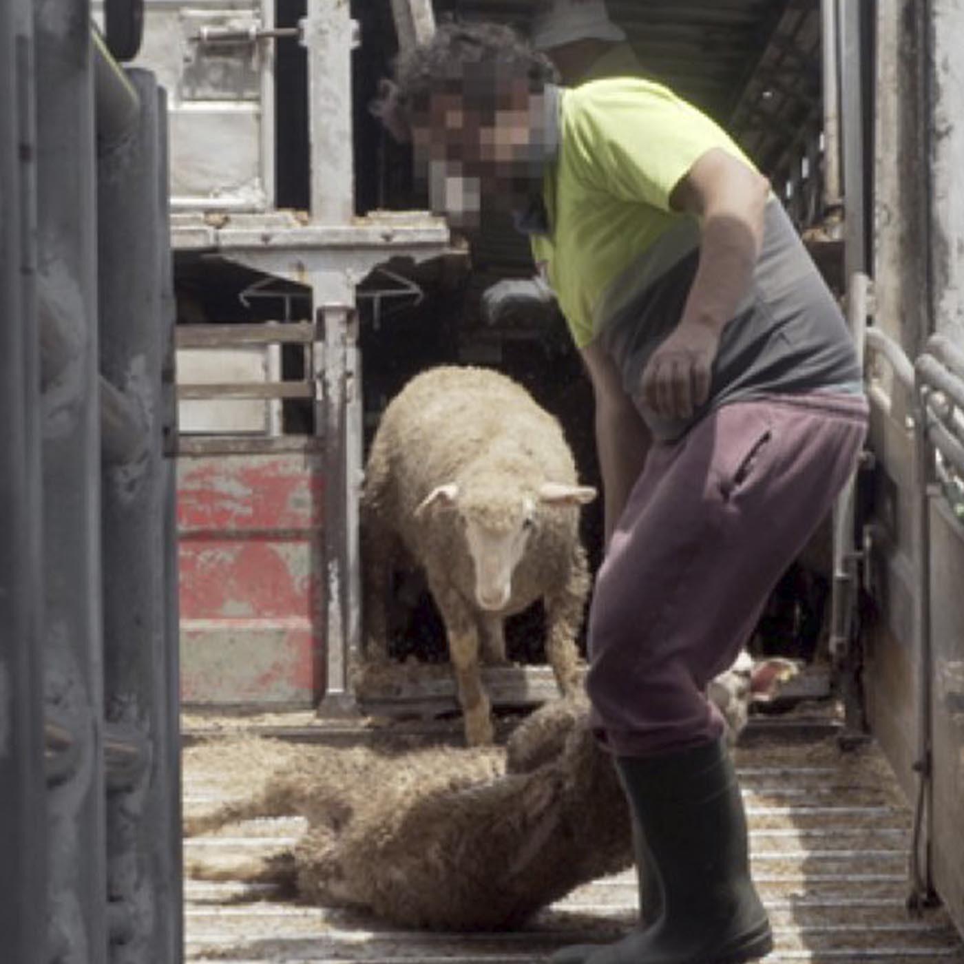 EL TORMENTOSO TRANSPORTE DE ANIMALES VIVOS