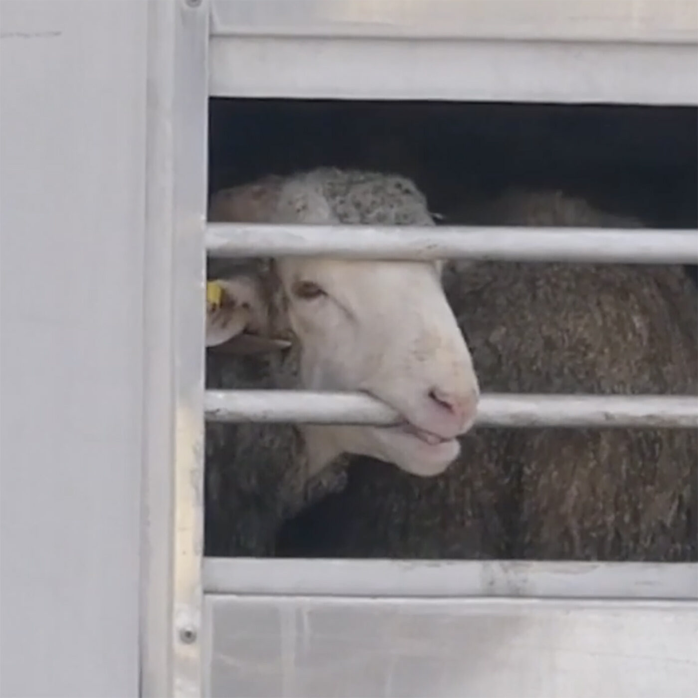 EN COLABORACIÓN, IGUALDAD ANIMAL DENUNCIA LA CRUELDAD DE LA EXPORTACIÓN ESPAÑOLA DE ANIMALES