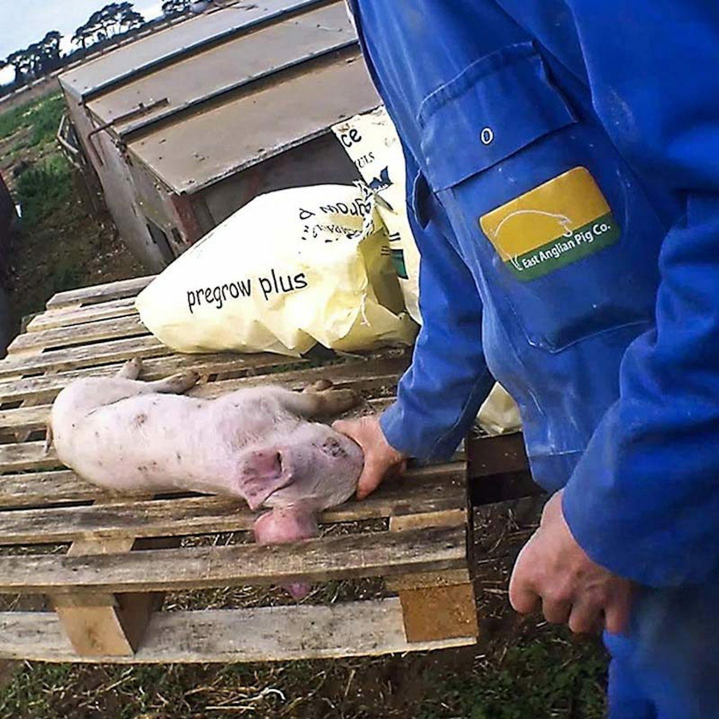 GRANJAS DE EAST ANGLIAN PIG COMPANY