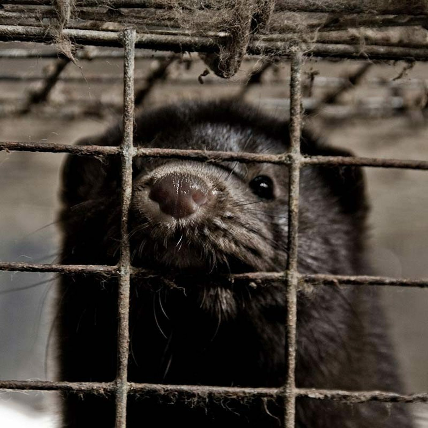 UNA SEGUNDA INVESTIGACIÓN SOBRE UNA GRANJA DE VISONES REVELA QUE LOS ANIMALES LANGUIDECEN DE DOLOR