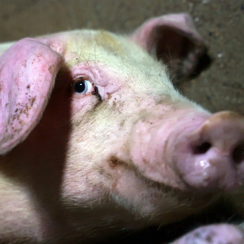 Closeup of pig in factory farm